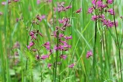 Wilde weide van roze bloem op groen grasgebied Het openluchtlandschap van de de zomeraard Royalty-vrije Stock Afbeelding