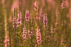 Wilde weidebloemen bij zonsondergang - kleurrijke achtergrond Stock Foto