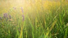 Wilde weidebloemen en kruiden in stralen van het plaatsen van zon stock videobeelden