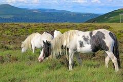 Wilde weiden lassende Ponys Lizenzfreies Stockfoto