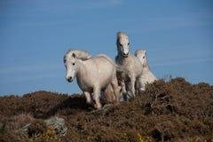 Wilde weiße Waliser-Ponys Stockfotografie