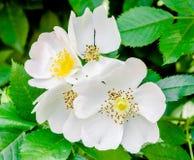 Wilde Weißrosenblumen, grüner Busch Stockbilder