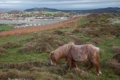 Wilde Welse Poney op Berg Conwy Stock Afbeelding