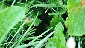 Wilde Wespen, die in und aus ihrem Loch gelegen im Gras bedeckt mit Tau fliegen stock video