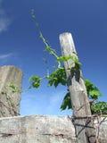Wilde wijnstok stock foto's