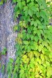 Wilde wijnstokbladeren op boomboomstam Stock Afbeeldingen
