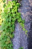Wilde wijnstokbladeren op boomboomstam Stock Foto's