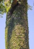 Wilde wijnstokbladeren op boomboomstam in het hout Stock Afbeelding