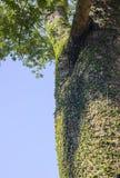 Wilde wijnstokbladeren op boomboomstam in het hout Royalty-vrije Stock Foto's