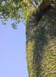 Wilde wijnstokbladeren op boomboomstam in het hout Royalty-vrije Stock Afbeelding
