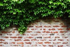 Wilde wijnstokvegetatie over bovenkant van rode bakstenen muur royalty-vrije stock afbeeldingen