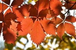 Wilde wingerd in de herfst Royalty-vrije Stock Foto's