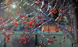 Wilde Winter-Beeren Stockfotos