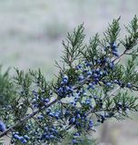 Wilde Winterbeeren addieren eine dekorative Note Stockfoto