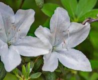 Wilde Witte Azalea Flowers stock afbeelding