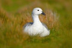 Wilde witte Hooglandgans, Chloephaga-picta, in de aardhabitat, Argentinië Witte vogel met lange hals Witte gans in het gras royalty-vrije stock foto