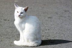 Wilde witte kat Royalty-vrije Stock Fotografie