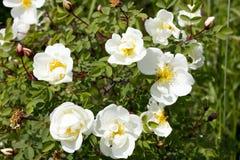 Wilde witte rozenstruik Stock Afbeelding