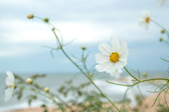Wilde witte zuivere bloem 3 Royalty-vrije Stock Afbeelding