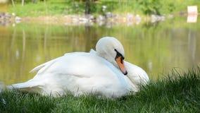Wilde witte zwaanzitting op de rivieroever die, die gras eten en zijn veren schoonmaken stock videobeelden