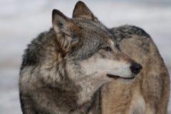 Wilde wolf Royalty-vrije Stock Afbeelding