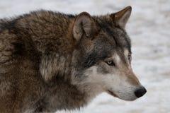 Wilde wolf Royalty-vrije Stock Foto's