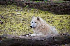 Wilde wolf Royalty-vrije Stock Foto