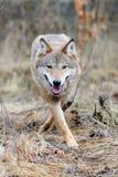 Wilde wolf in bos Royalty-vrije Stock Foto's