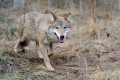 Wilde wolf in bos Royalty-vrije Stock Afbeeldingen