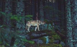 Wilde wolf in de aard Stock Foto's