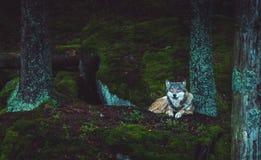 Wilde wolf in de aard Stock Fotografie