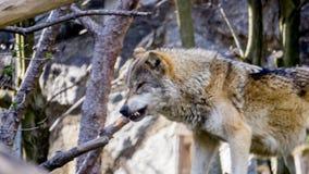 Wilde wolf in Oostenrijk stock foto