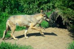Wilde wolf in Polen Stock Afbeelding