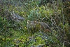 Wilde Wombat Royalty-vrije Stock Foto