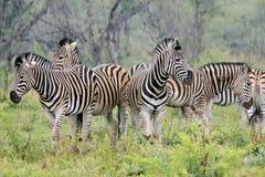 Wilde zebra Royalty-vrije Stock Afbeelding