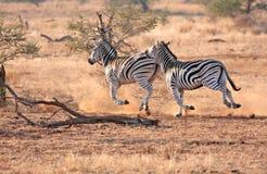 Wilde zebra stock fotografie