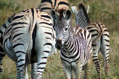 Wilde Zebras Stockfoto