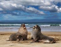 Wilde zeeleeuwen Royalty-vrije Stock Foto