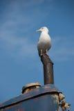 Wilde zeemeeuw die op oud schip legt Stock Afbeelding