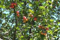 Wilde zeer zure appelen, royalty-vrije stock foto's