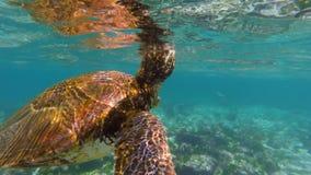 Wilde zeeschildpad die aan de oppervlakte voor lucht zwemmen stock footage