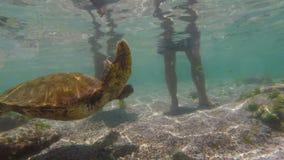 Wilde zeeschildpad die in de eilanden van de Galapagos zwemmen stock video
