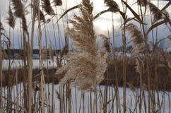 Wilde zegge op het meer in de winter Stock Foto's