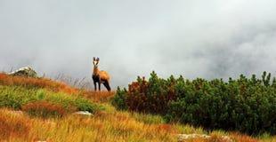 Wilde Ziege auf dem Berg Stockfotos