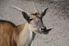 Wilde Ziege, die Zunge zeigt Stockfotografie