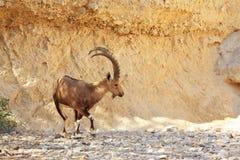Wilde Ziege mit sehr großen Hupen lizenzfreie stockfotos
