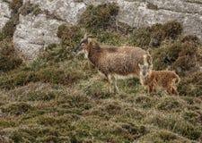Wilde wilde Ziegen auf Heidemoor außer Felsgelände Lizenzfreie Stockfotos