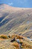 Wilde Ziegen in den Bergen Stockfotos