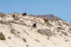 Wilde Ziegen in der Wüste von Oman Stockfotos