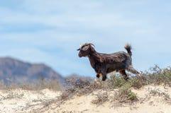 Wilde Ziegen in der Wüste von Oman Lizenzfreies Stockfoto